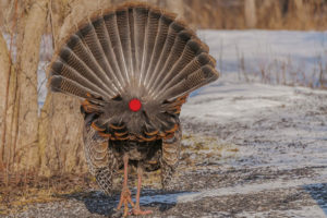 Archery Shot Placement: Turkey Anatomy