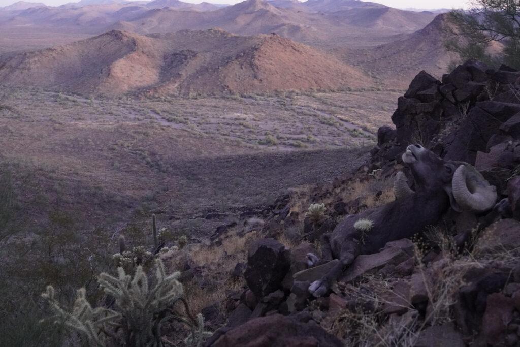 David's bighorn sheep as he lay after the shot in the Arizona desert